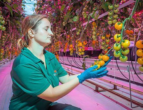 پرورش گیاه گوجه فرنگی توسط نور LED
